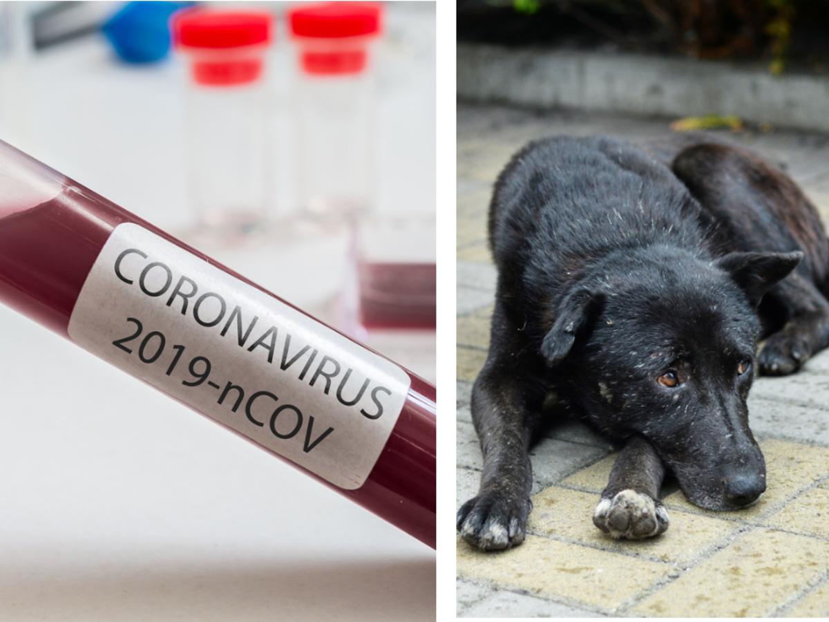Czy czworonogi mogą roznosić koronawirusa?