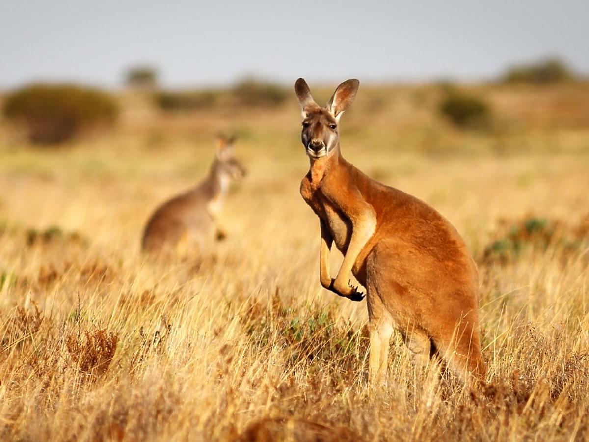 Kangur - symbol marki Aussie